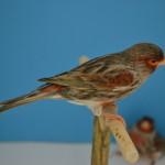 bruno rosso mosaico maschio(4).JPG
