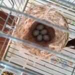 nido nero rosso