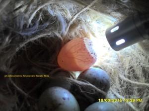Foto speratura uova canarino al 4° giorno di cova